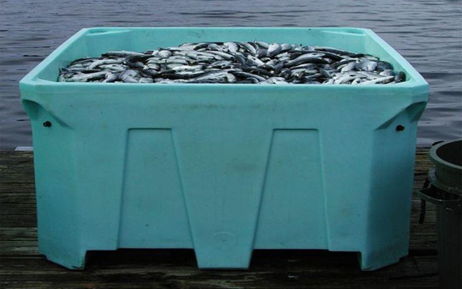 IHN er en alvorlig sykdom. Bildet viser dødfisk etter utbrudd hos en canadisk oppdretter på Vancouver Island for noen år siden. Foto: Paul Hardy-Smith, Panaquatic Health Solutions/Global Aquaculture Alliance