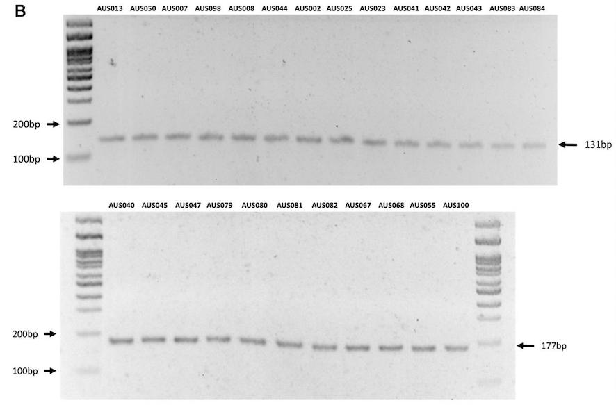 Prototipo multiplex-1 para el genogrupo LF-89 (arriba) y EM-90 (abajo) en muestras de campo. Fuente: Modificado de Isla y col., 2021.