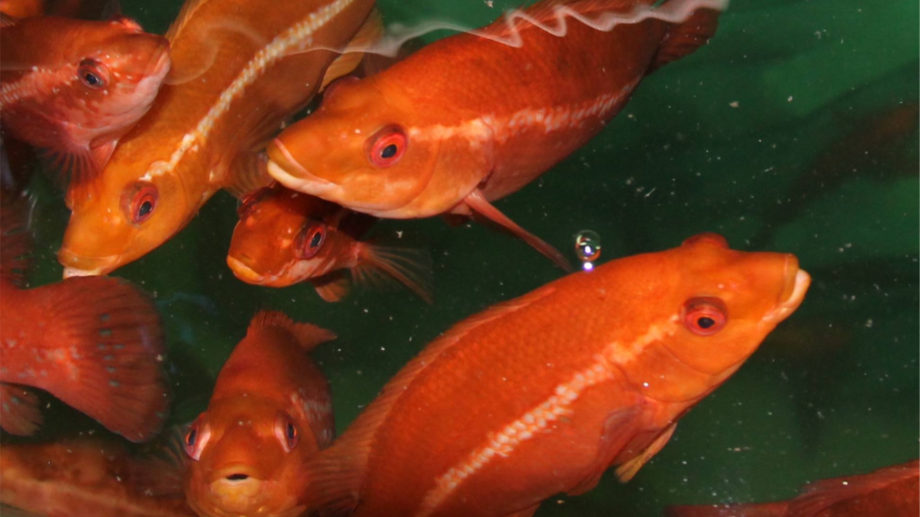 Farmed ballan wrasse are increasingly being used as cleaner fish by salmon producers. Photo: SAIC.