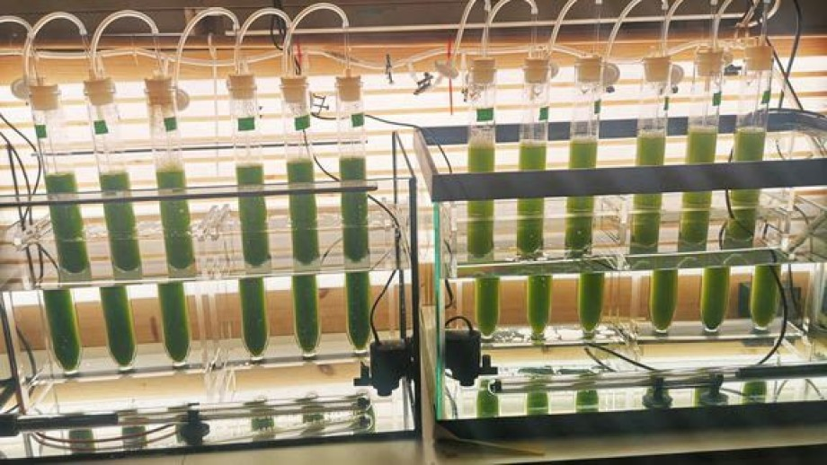 Mikroalger som fôres med insektavfall fra melbillelarver vokser raskere, fordi dette avfallet tilfører viktige næringsstoffer som algene enkelt klarer å absorbere, viser resultater fra mikroalge-dyrking utført av NORCE-forskere. Foto: NORCE