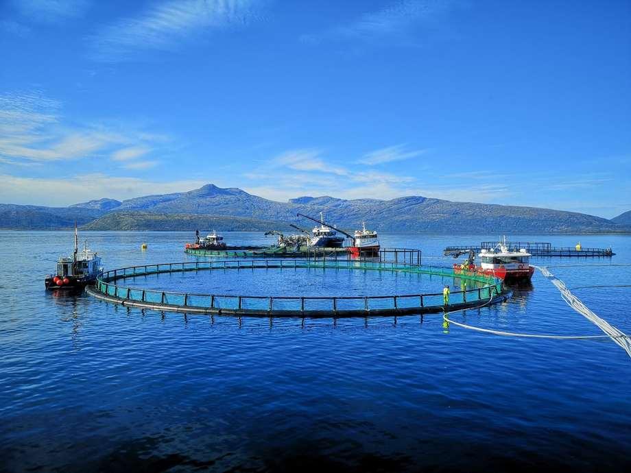 Ballangen Sjøfarm øker resultatet betydelig i 2020, og har fått snudd skuten etter algeproblemer i 2019. Foto: Ballangen Sjøfarm