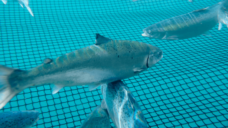 Fish in a Mowi salmon farm at Uist. The company is linking the interest rate it pays on bank credit to its sustainability performance. Photo: Mowi / Andrew Godfrey Photography.