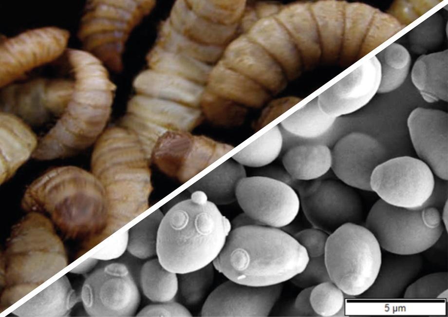 La suplementación con proteínas de insectos y levaduras en la dieta no afectó los parámetros productivos evaluados en el estudio. Imagen: Dennis Kress, Mogana Murtey y Patchamuthu Ramasamy.