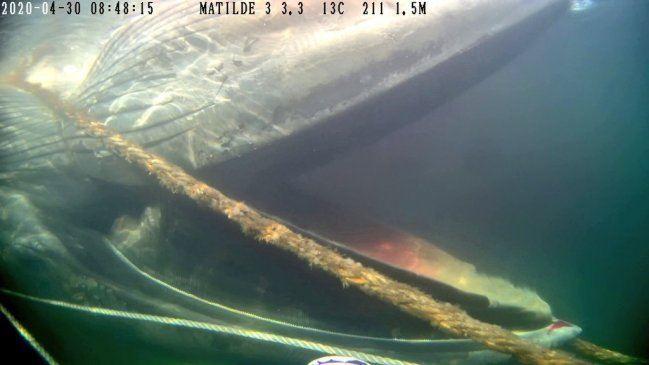 La ballena varó enmallada al costado de una de las balsas jaula del centro Matilde 3 de Australis Seafoods. Foto: Sernapesca Aysén.