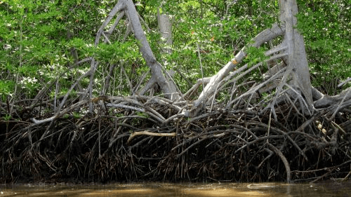 Mangrove forests sequester carbon from the atmosphere, prevent coastal erosion and provide habitat to countless species. Photo: parksandtribes.com