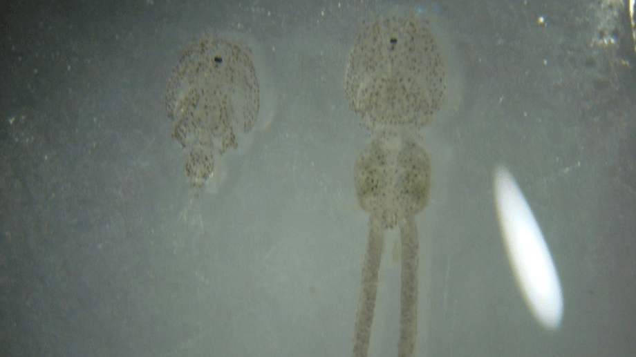 Imagen referencial de Caligus rogercresseyi. Foto: Salmonexpert.