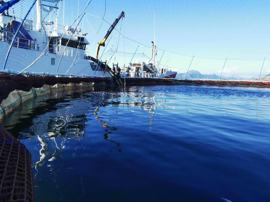 Her blir torskeyngelen overført fra brønnbåt til sjø. Foto: Norcod