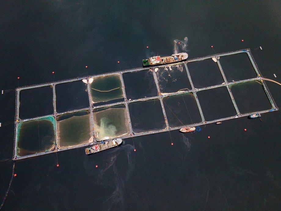 Episodio de FAN en Fiordo Comau dejó más de 7 mil toneladas de mortalidad de salmón. Foto: Fundación Terram.