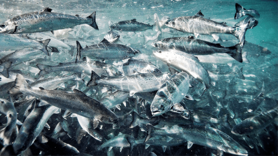 Referential image of farmed salmon. Photo: Salmonexpert Archive.