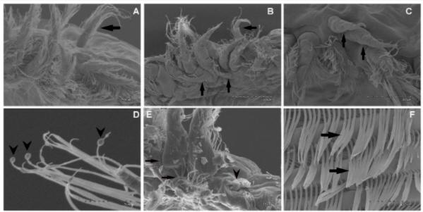 Setas de L. salmonis adultos en el segmento proximal de la primera antena: (A) Parásitos normales; (B-F) Distintos cambios patológicos en parásitos expuesto a sonidos de baja frecuencia. Fuente: Solé y col., 2021.