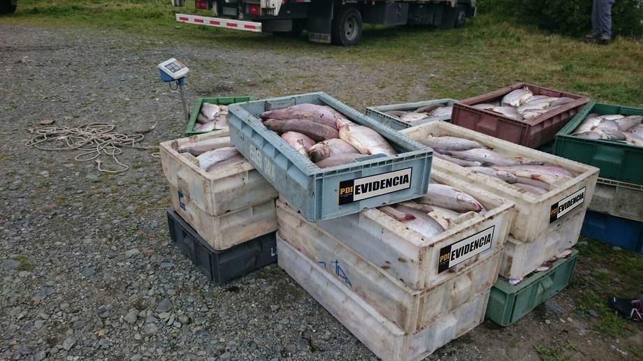 Imagen referencial de robos en la industria chilena del salmón. Foto: Archivo Salmonexpert.