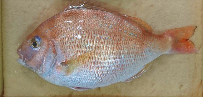 A gene-edited red bream. The fish is said to produce 20% more meat. Photo: Regional Fish Institute.