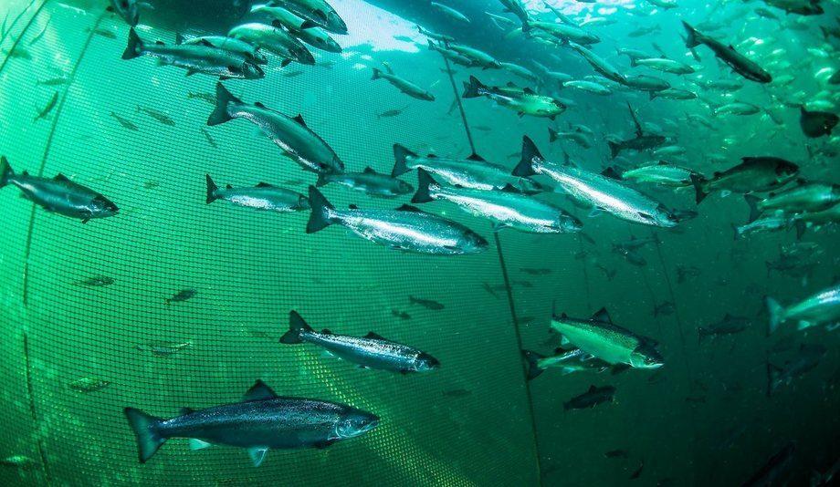 Laksen i forsøkene kunne svømme i opptil tre dager uten å bli utmattet. Det betyr at den sannsynligvis kan klare seg bra i oppdrett til havs. Foto: Erling Svensen/ Havforskningsinstituttet