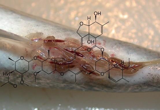 Parasittmiddel til landdyr nå tillatt brukt på fisk