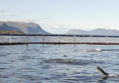 Seks prosent mer laks i sjøen i april