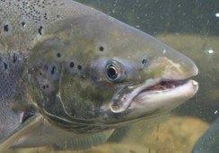 Ett virus bekymrer etter overvåkning av ville laksefisk