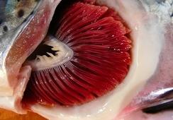 Así afecta la salud branquial del salmón el tratamiento térmico contra piojos