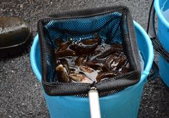 Vil importere 1,4 millioner leppefisk fra Sverige