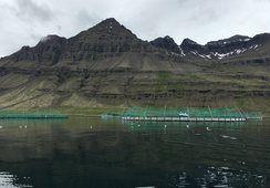 To islandske oppdrettere snuser på hverandre