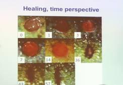 Stress påvirker sårhelingen hos oppdrettsfisk