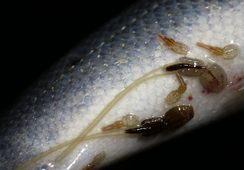 Havforskningen oppsummerer lakseluspåvirkning på villfisk 2017