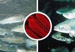 Validan dieta de Skretting para una mejor salud branquial de los peces