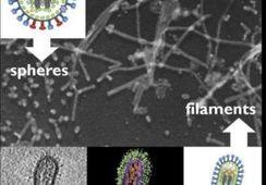 Investigadores chilenos describen la forma filamentosa del virus ISA