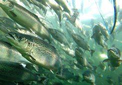 Alta temperatura reduciría apetito en salmones, incluso con buen nivel de oxígeno