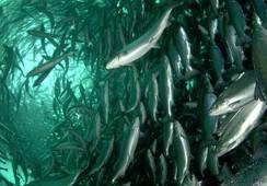 Analizan si desarrollar acuicultura orgánica tiene asidero en Chile