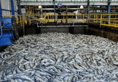 Atared argumenta contradicciones de la autoridad en relación con mortalidad masiva de salmones