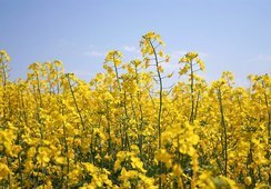 Canola biotecnológica alta en omega-3