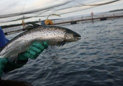 Retiran del SEA proyecto de engorda de salmones en Valdivia