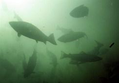 """""""El Gobierno quiere aplicar una Ley de Pesca 2.0 en la salmonicultura"""""""