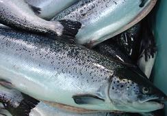Cosechas de salmón Atlántico caen un 11,8% en agosto