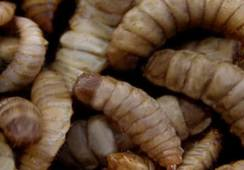 US$ 10 millones para instalar fábricas de insectos