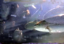 Actualizan índice FAO de precios de los peces
