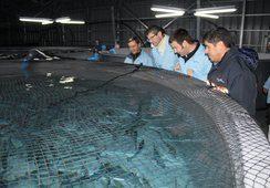40% de los salmones exportados nace en La Araucanía