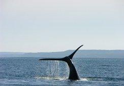 Interacción entre ballenas azules y salmonicultura en Chile