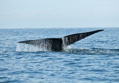 Salmonicultores aprenden a avistar y proteger ballenas azules