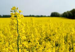 Investigan uso de semillas de canola en acuicultura y su potencial para la trucha