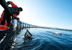 Ventas de salmón noruego crecieron 35% en febrero