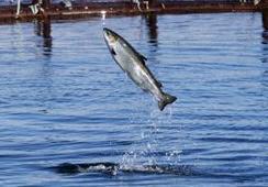 Científicos elaboran nueva prueba para rastrear el ADN del salmón de cultivo que escapa