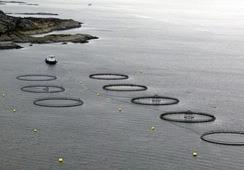 Usan la genética para medir el impacto ambiental del cultivo de salmón