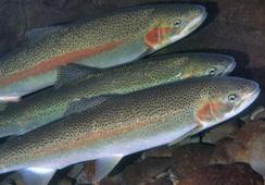 Cooke wins green light to grow trout in Washington