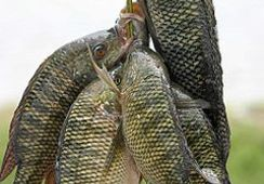 Salt water Tilapia produced