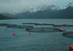 Proyectan mayores cosechas y menores precios para el salmón