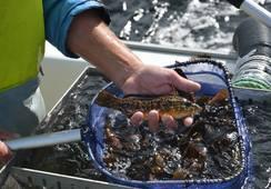 Kan få importere flere hundre tusen leppefisker fra Danmark