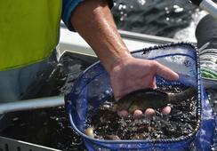 Ikkje tillate med bifangst i fiske etter leppefisk