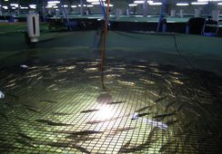 Puerto Varas: Biomar presenta actualización de recirculación en Patagonic RAS