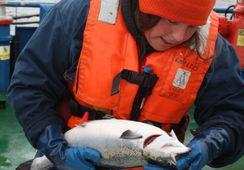 Buscan desarrollar herramienta mundial de salud y robustez para el salmón